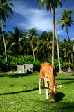 Animal grazing in the tropics. A young cow grazing in a field with palm trees Royalty Free Stock Images