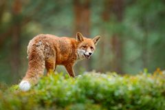 Animal, green environment. Fox in green forest. Cute Red Fox, Vulpes vulpes, at forest with flowers, moss stone. Wildlife scene fr. Animal, green environment Royalty Free Stock Photography