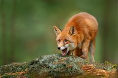 Animal, green environment, stone. Fox in forest. Cute Red Fox, Vulpes vulpes, at forest with flowers, moss stone. Wildlife scene f. Animal, green environment Stock Photo