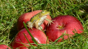 Animal green frog on red apple in summer garden stock video