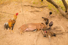Animal growing on Don Det. Raising pig and chickens on Don Det island in south Laos. Life on four thousands islands Si Phan Don on Mekhong river in south east stock photos