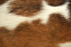 Animal hair texture. In brown and white Stock Image