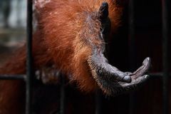 Animal hand. Orangutan requested for food from tourist Stock Photos