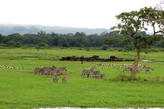 Animal harmony. Different wild animal species living peacefully together,Arusha national park, Tanzania Stock Photos