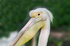 Animal head of a beautiful pelican bird. Image of an animal head of a beautiful pelican bird Stock Photos