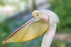 Animal head of a beautiful pelican bird. Image of an animal head of a beautiful pelican bird Royalty Free Stock Image