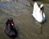 Animal hermoso del pato del primer en los parques p?blicos imagen de archivo