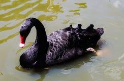 Animal hermoso del pato del primer en los parques p?blicos imagenes de archivo