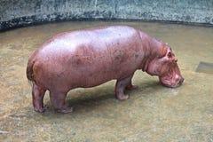 It is a hippopotamus that lives at KHON KAEN zoo. Animal, it is a hippopotamus that lives at KHON KAEN zoo, in KHON KAEN province THAILAND stock images