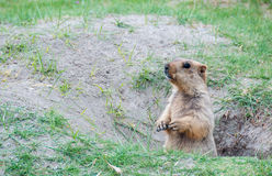 Animal in hole. Marmot local animal in india live in hole stock photos