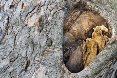Animal hollow in tree Royalty Free Stock Photography