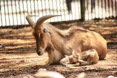 Animal with horns Royalty Free Stock Photography