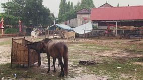 Animal , horse, cambodia stock video
