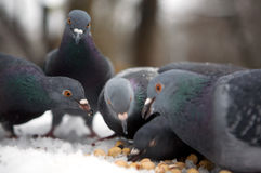 Animal hungry. Five hungry blue rock pigeons eat nuts Stock Photos