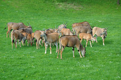 Animal husbandry Stock Photography