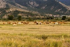 Cows graze in a meadow. Animal husbandry. Cows graze on the high-mountain meadow at sunset time northwestern Greece, Macedonia Royalty Free Stock Image