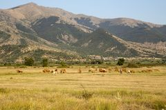 Cows graze in a meadow. Animal husbandry. Cows graze on the high-mountain meadow at sunset time northwestern Greece, Macedonia Royalty Free Stock Photo