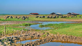 Animal husbandry. Here is a place of southern Thailand, cattle Stock Photo