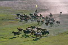 Animal husbandry. They are raising horses.They also rent a horse Stock Image