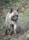 Animal - hyena Royalty Free Stock Image