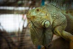 Animal Iguana. Close up an iguana eye`s Stock Photo