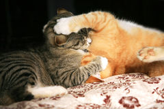 Animal instinct. Two young cats play in the fight. Animal instinct Royalty Free Stock Photos
