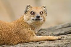Animal irritado Fotografia de Stock