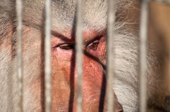 Animal in Jail Royalty Free Stock Image