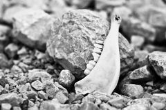 Animal jaw, end of life Royalty Free Stock Photography