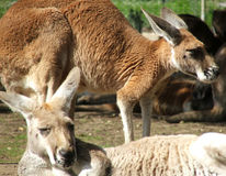 Animal - kangaroo Stock Photo