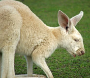 Animal - kangaroo Stock Images