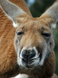 Animal - kangaroo Royalty Free Stock Image