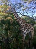 Animal kingdom jiraffe royalty free stock photos