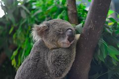 Animal koala bear royalty free stock images