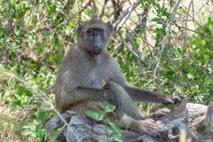 Baboon national park kruger south africa reserves and protected airs of africa royalty free stock photo