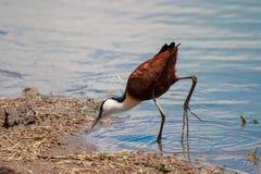 African jacana national park kruger south africa stock image
