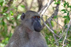 Baboon in african mammal national park kruger royalty free stock photography