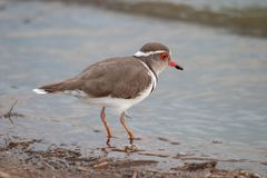 Threebanded plover national park kruger south africa stock photography