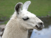 Animal is the lama Stock Image