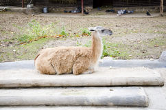 Animal lama Stock Photos