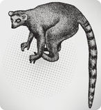 Animal lemur, hand-drawing. Vector illustration. Royalty Free Stock Photography