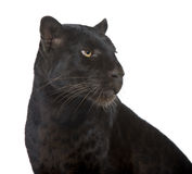 Animal, leopardo negro, primer, criatura, detalle, fotografía de archivo