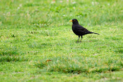 Animal life. Blackbird in the meadow looking for prey royalty free stock photo