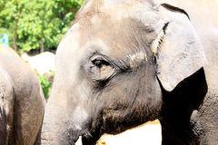 Animal life elephant. Natural animal life elephant in zoo Stock Image