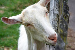Animal life. Goat peeks over the fence royalty free stock images
