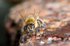 Animal life. Macro shot of bee drinking on a water place in springtime stock images