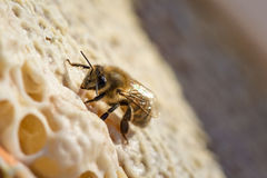 Animal life. Macro shot of bee sitting and working on a honeycomb royalty free stock images