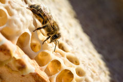 Animal life. Macro shot of bee sitting and working on a honeycomb royalty free stock photography