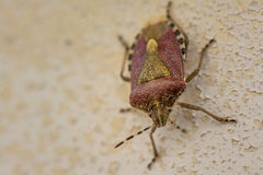 Animal life. Macro shot of a brown stink bug royalty free stock images