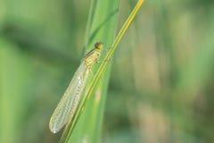 Animal life. Macro shot of a green dragonfly Stock Photos